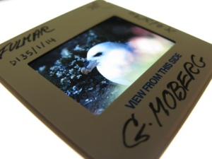 slide of the fulmar image with Gunnie's writing on it.