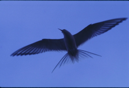 tern flying wings spread against a deep blue sky
