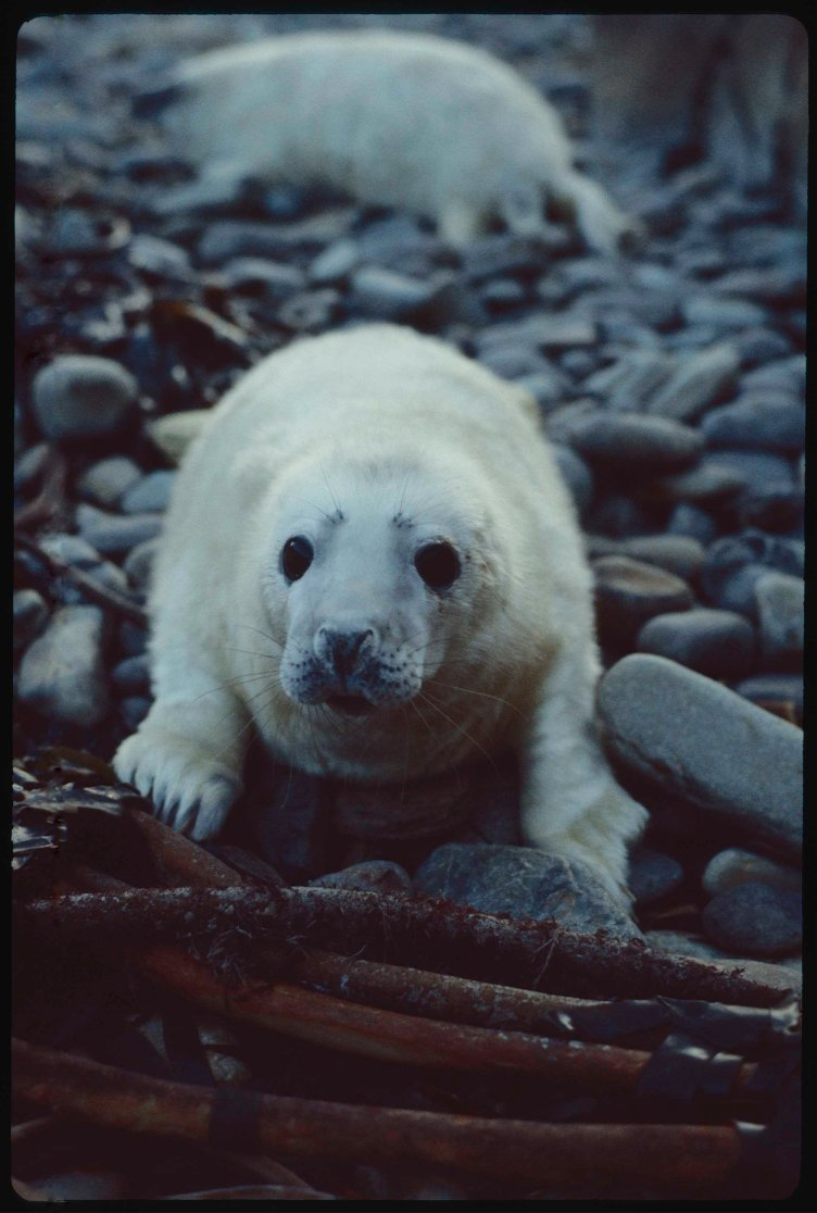 Seal pup on beach stones next to pile of seaweed stipes known as 'tangle' in Orkney