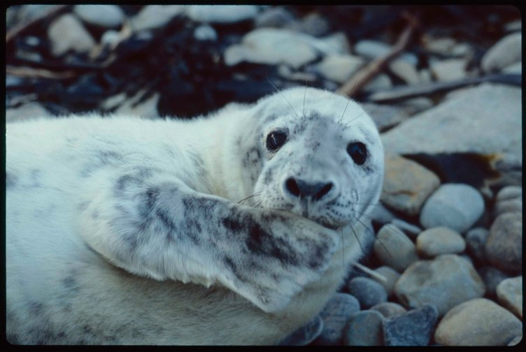 Seal pup looks directly into camera with fin held up to its mouth