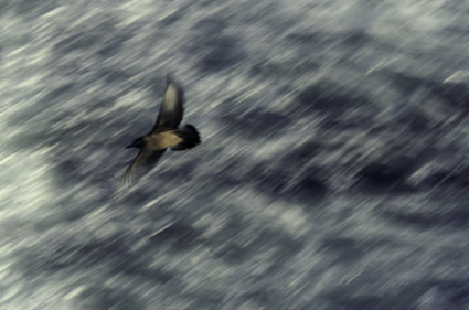 Bonxie in flight, lots of movement and space.