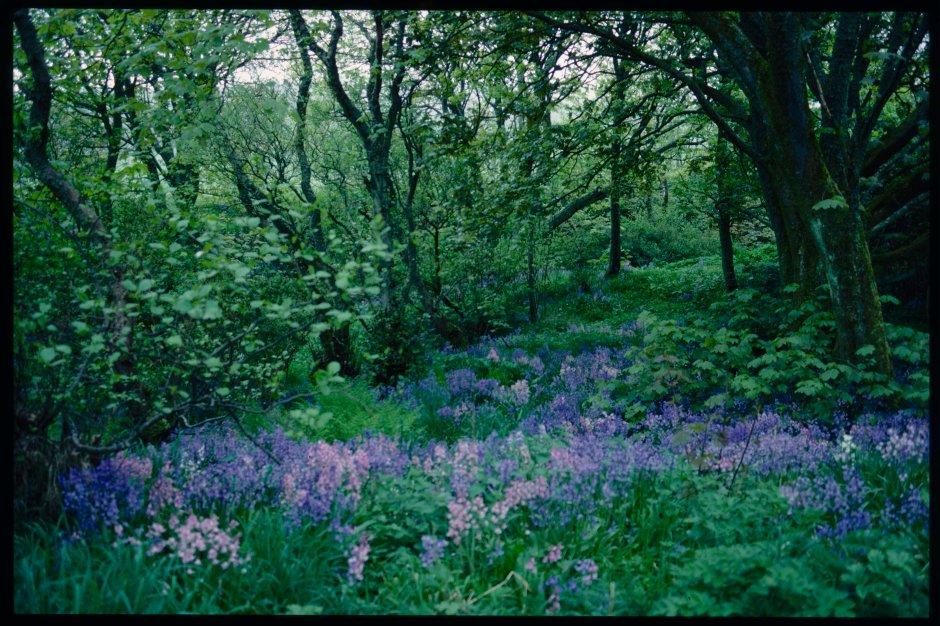 Bluebells carpet a woodland