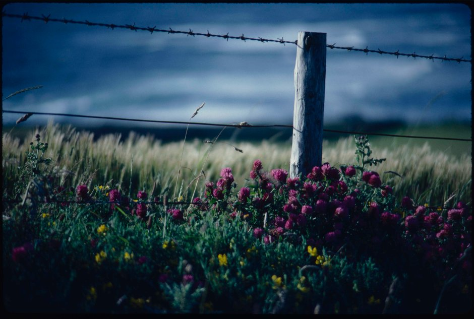 A dark sky broods over a field of ripening barley, a fencepost in the foreground is clustered about by red clover.