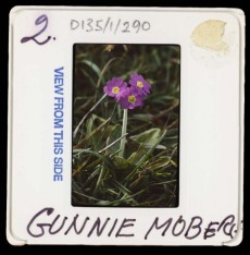 Slide mount reading 'Gunnie Moberg' handwritten in black pen, image on slide is of a primula scotica, a small opurplish pink primrose with three heads