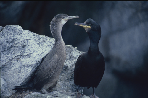 Shag young brown and fluffy sits next to the adult shafg all black and sleek, they perch on apale rock, darkness behind.