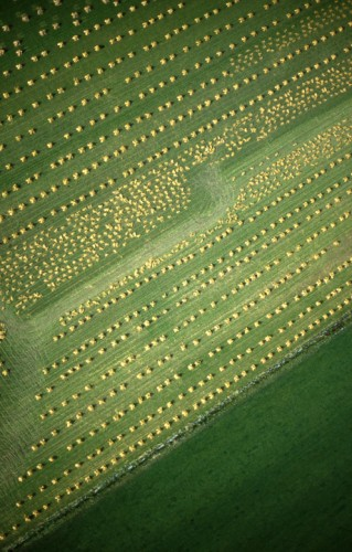 rows of corn stooks from above looking like a diagonal row of yellow dots on a green page