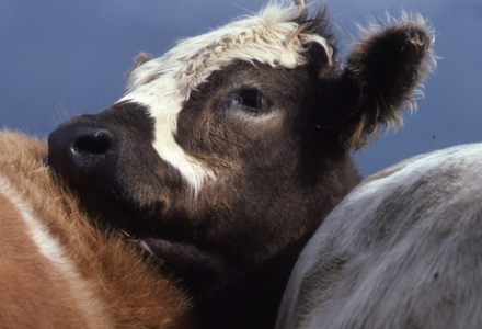 Against a darkening sky a young cow, with a black adn white face, leans against the rumps of a red and a grey cow