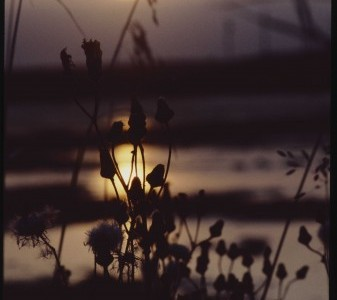 a sun sets or rises pale yellow behind a group of silhouetted wild plants