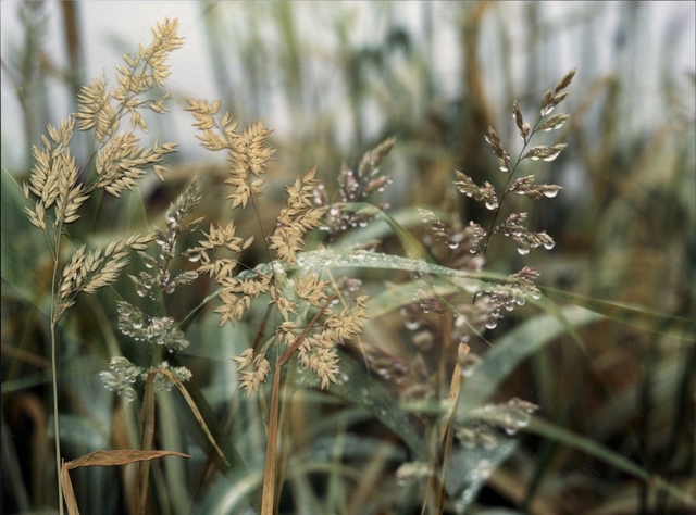 a photograph of dew jewelled grasses are laid with actual grasses on top of the surface of the image, the grasses in the photograph are out of focus and moving in the wind