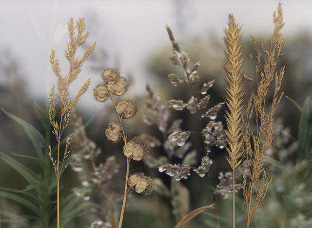 a photograph of dew jewelled grasses are laid with actual grasses on top of the surface of the image