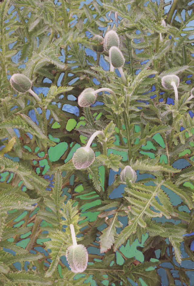 Poppy buds hang strangley among the leaves, areas between the leaves are painted out in blues and greens