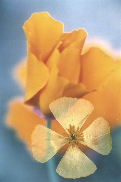 A yellow flower about to open buzzes with colour against a blue sky, on top of the photograph is a wheel of a dried flower with four segmented leaves