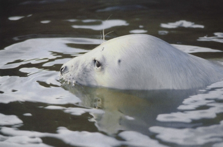 The head of a young seal breaks the water, the water ripples black and white around the nose of the seal