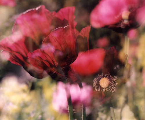 Poppies sunlit lie on top of each other, transluscent petals overlapping in a double exposure.