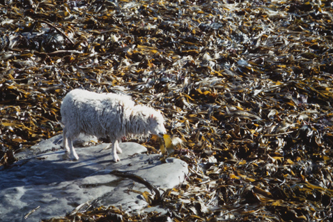 A white North Ronaldsay sheep stands on a rock engulfed by rich brown seaweed and begins the task of munching steadily on a tangle blade.