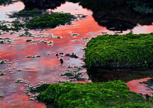 An eerie pink sky is refleced in the pools beside a vibrant green seaweed covered rocky shore.
