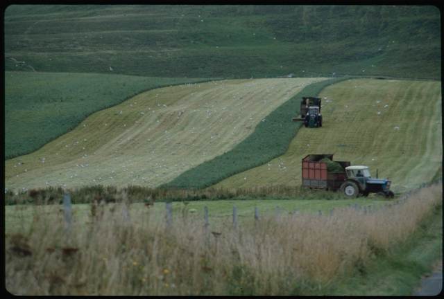 Tractors working in a field create stripes on the hillside crop as they harvest.