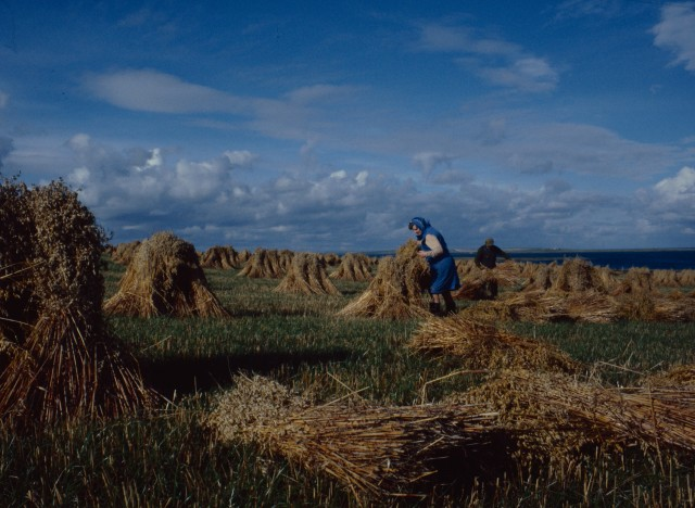 Rich golden stooks of oats are being gathered in by a woman in a blue head scarf and dress, behind her a man assists her with her old fashioned harvesting by hand.
