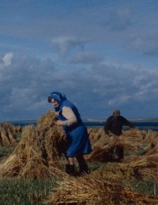 Detail of larger image of rich golden stooks of oats are being gathered in by a woman in a blue head scarf and dress, behind her a man assists her with her old fashioned harvesting by hand.