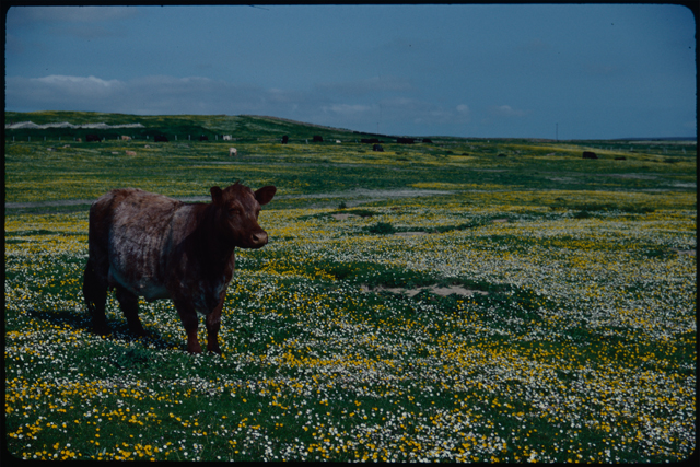 A short red cow stands in a buttercup field on the left of this image.