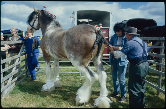 Centre of the image a large working horse with beautiful white feet is prepared for a show, the tail is being carefully plaited by a man and a woman. Around the head of the horse a small group gather chatting.