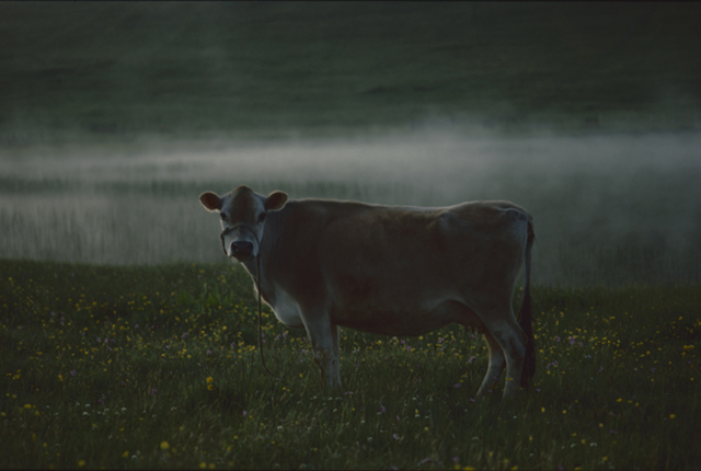 In a misty field, the heat of the earth meeting the cool night air, stands a cow the last of the light giving her a glowing outline. Buttercups in the field and a tether on her.