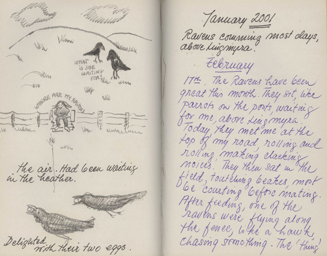 pages of Gunnie's raven journal, handwritten notes and drawings, one a cartoon of Gunnie sitting on the fence asking' where are my ravens?' with the birds behind her asking 'what is she waiting for?'