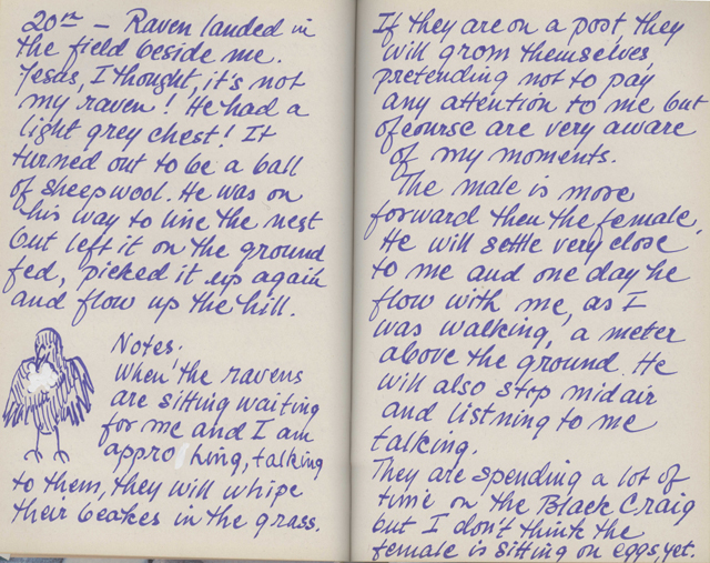 Pages from a journal covered in generous handwritting in blue ink, with drawing of a raven with wool for its nest