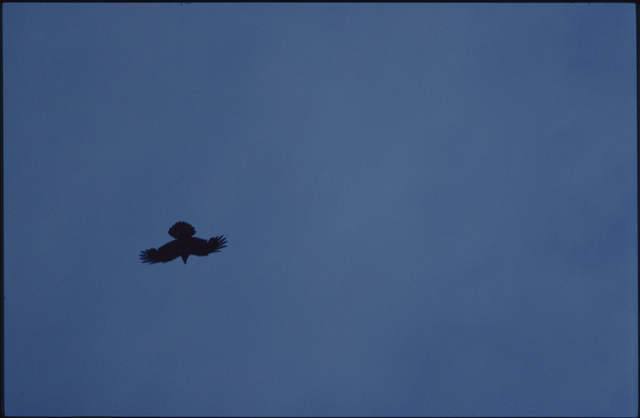 A strong black shape of a raven upside down against the sky with fingered wings and spread tail.
