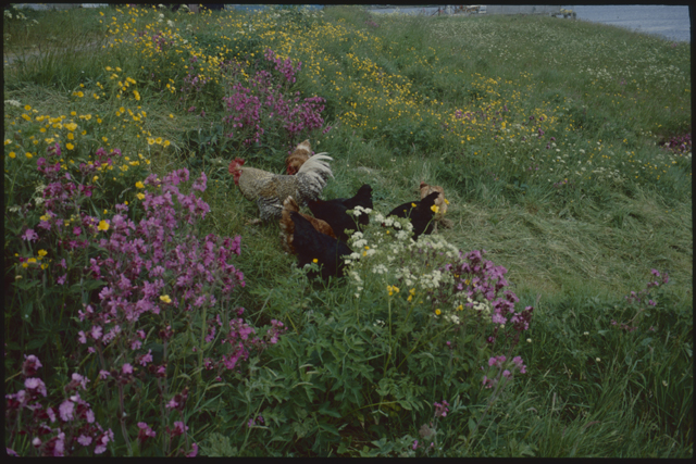 A small tribe of hens work their way through a meadow of pink and yellow flowers.