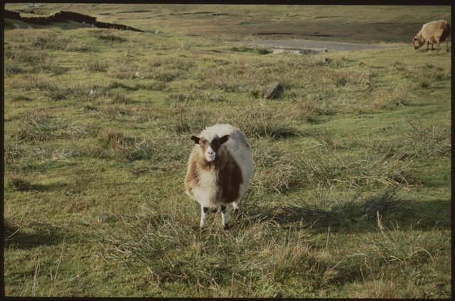 A sheep stands her ground in a Shetland field, she is white and brown and has a comically sweet face.