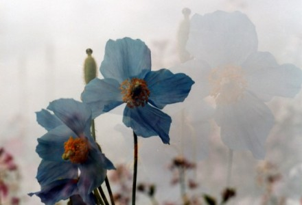 Blue poppies elegant and suprsingly blue are echoed in aghost image of themselves behind them in this double exposure image.