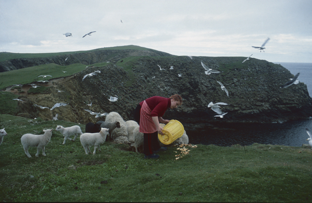 On a cliff edge a woman with red hair in a red jumper and red striped apron stoops to spill the content of her yellow bucket, scraps for the lambs and the gulls circle to share the spoil.