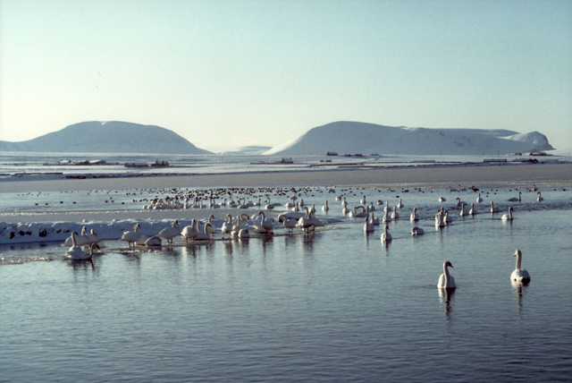 Swans crowd the foreground of a snowy blue scene of the white hills of Hoy