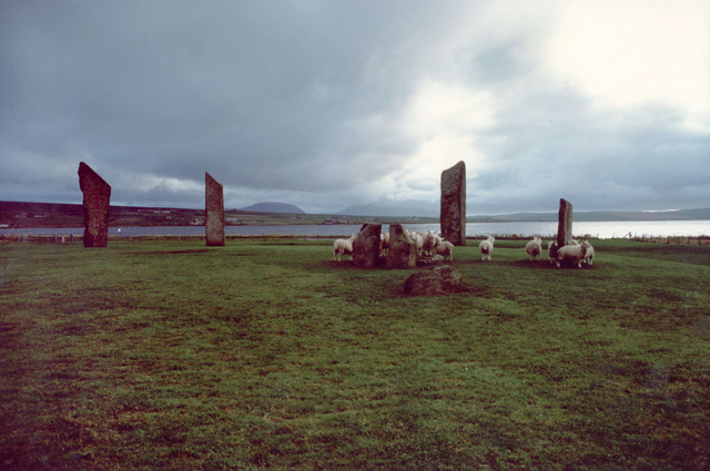 Sheep rub on the standing stones of Stenness under a low sky.
