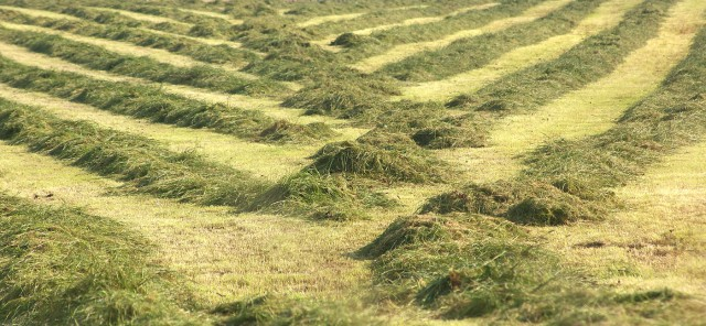 Lines of cut crops converge towards the middle of the image where heaps of grasses lie ready to be baled.