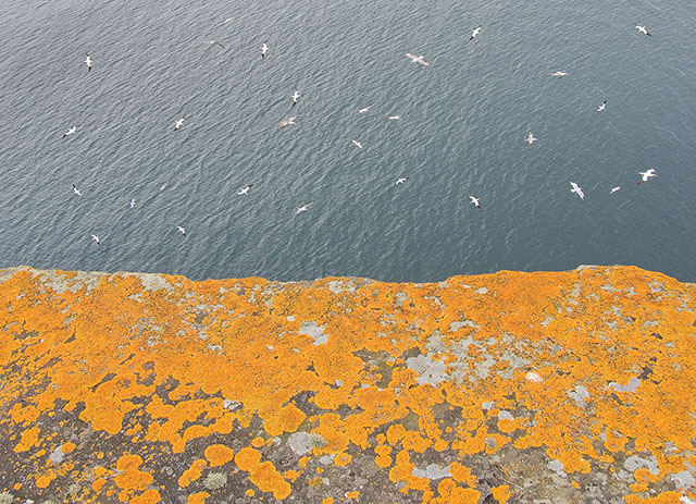 yellow litchened cliff face takes up half the frame in a vibrant pattern, the top half of the image is of sea and the frenzied activity of a group of gannets swooping and gliding.