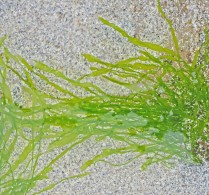 Impossibly green strands of seaweed wave gently in shallow clear water over shell rich sand.