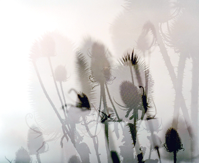 Teasels dance in layers overlapping in this double exposure againsta white sky.