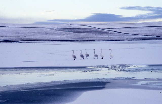Six swans walk tall on a frozen loch.