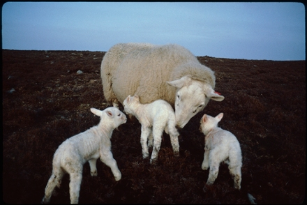 A ewe gathers her three lambs to her, they form a triangle.